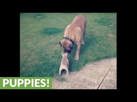 il-bullmastiff-che-gioca-con-il-cucciolo-di-french-bulldog