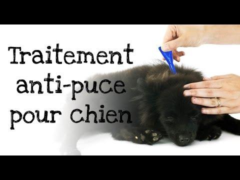 comment traiter les puces sur un chien