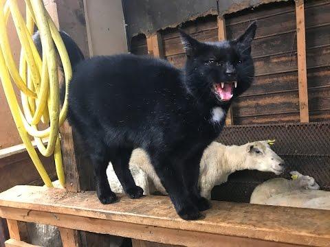 Słodka zemsta owcy na wkurzającym kocie :)