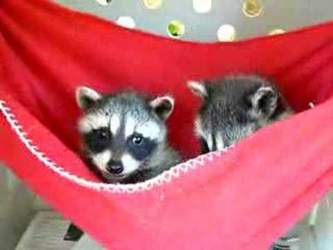 0 Baby Raccoons in Red Hammock