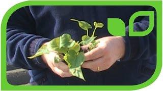 Lubera produziert Jungpflanzen für Süsskartoffeln