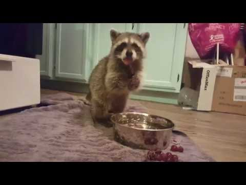 Smart Raccoon Insists on Washing Fruit Before Eating it