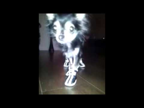 Funny Chihuahua Shoes