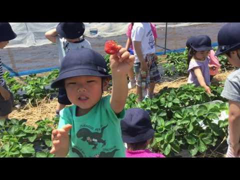 和光鶴川幼稚園 花組でいちご摘みに行ったよ