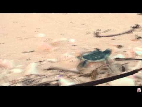 la corsa spettacolare verso il mare delle tartarughe verdi appena nate!