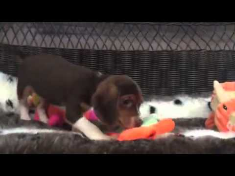 Sweet, Chocolate Tri color Beagle puppy