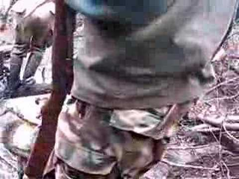dogo argentino hunting boar. Cacería Dogo Argentino