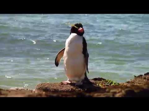 Pingvin a Curio öbölben