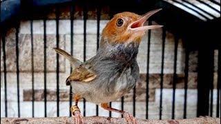 Download Video Luar Biasa Suara Burung Prenjak Kepala Merah MP3 3GP MP4