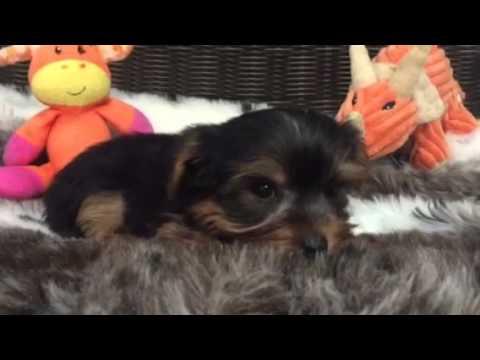 Teddy bear face, Yorkie puppy
