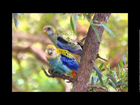 Pale-headed Rosella – call – June 11.flv