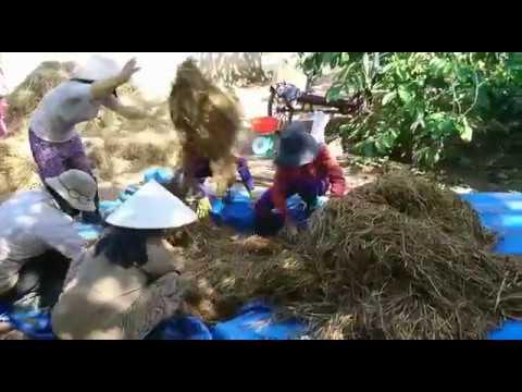 Nông nghiệp: Kỹ thuật xử lý rơm bằng nước vôi để trồng nấm