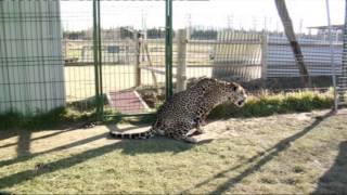 Una jaguar embarazada en casa