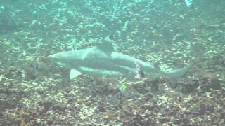 Black Tip Reef Sharks At Koh Tao Thailand - March 2012