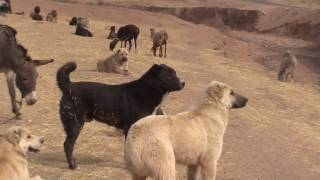 This flock was walking from mountains of Varzob region to Shahrituz region in the South of Tajikistan. The old white and black colored dog was lost on the way ...