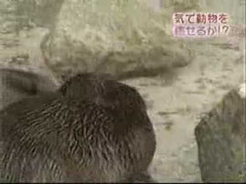 kikou - Japanese Qigong(kikou) doctor Kanzawa relaxes animals and puts them to sleep.
