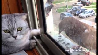 Ленивый кот и голодный голубь
