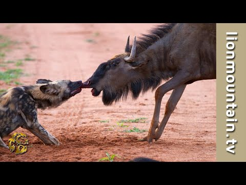 Wildebeest Bulls Attack And Injure Wild Dog.