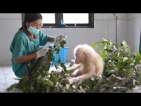 Indonesien: Alba, der einzige bekannte Albino-Orang-U ...