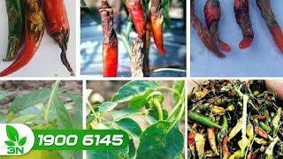 Trồng trọt | Mẹo diệt trừ sâu xám hại cây ớt