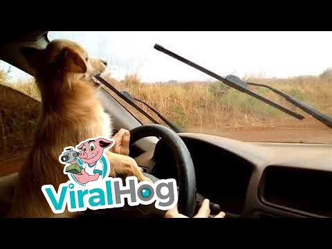 Cute Little Dog Plays with Windshield Wipers