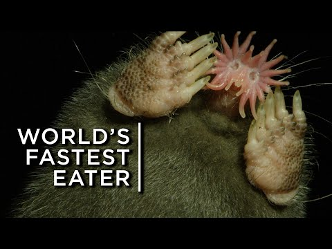 The bizarre star-nosed mole: The world's fastest eater
