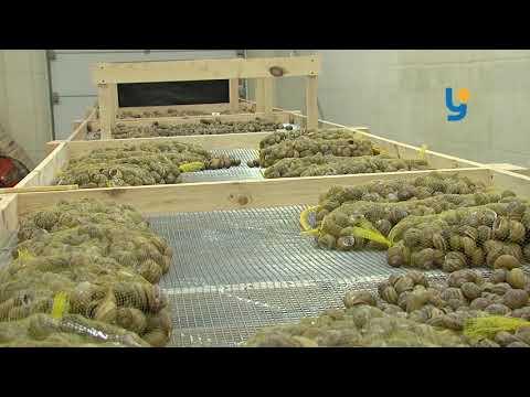 Риба та равлики: як працюють рівненські рибгосподарства [ВІДЕО]