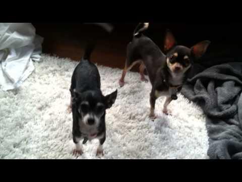 Chihuahua Barking to go Outside