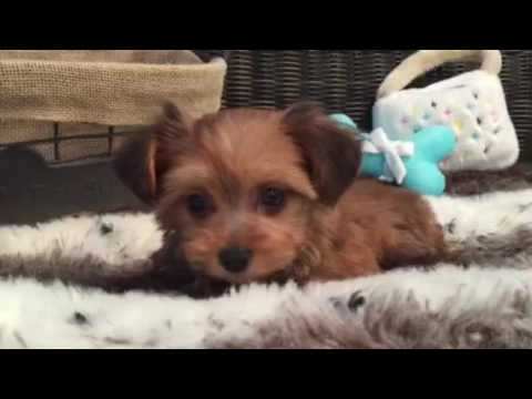 SWEET MALE YORKIEPOO LOOKING FOR HIS FOREVER HOME