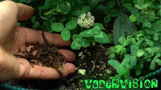 2018 Cali Legal Grow * Day 46 *  Adding Earthworms to Living Soil by VaderVision