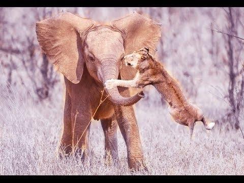 Elephant Kill a Lion #HD