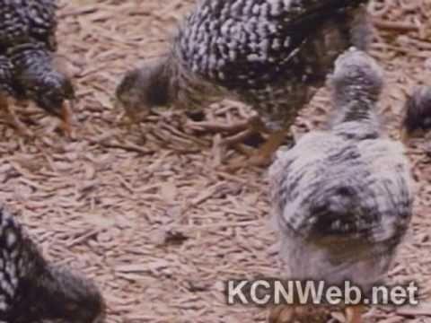 Vedio : Coccidiosis In Chickens