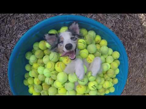 No vas a ver algo más feliz que a este perro cubierto de bolas de tenis