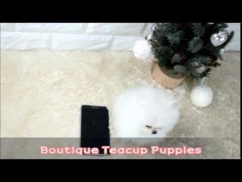 Adorable Micro Teacup Prince