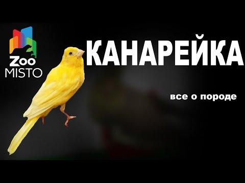 Канарейка - Все о виде птицы