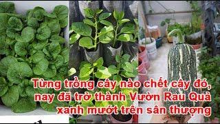 Từng trồng cây nào chết cây đó, nay đã trở thành Vườn Rau Quả xanh mướt trên sân thượngVườn Rau Quả, vườn rau trái, vườn cây trái, làm vườn rau, trồng vườn rau, vườn xanh mướtTheo khampha.vn