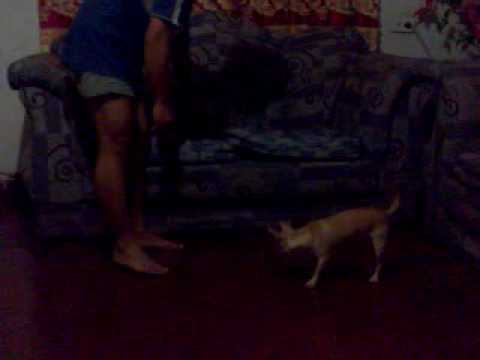 raphael chihuahua training