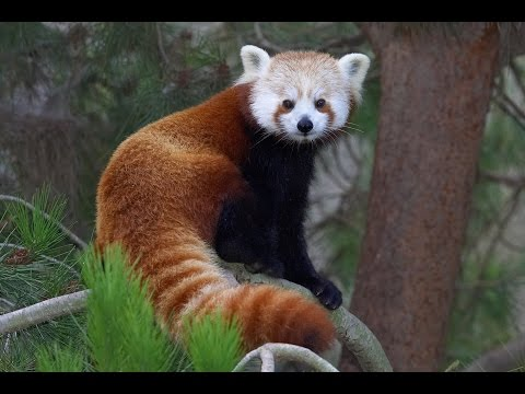 san - The San Diego Zoo is a supporter of Red Panda Network, and invites you to celebrate the 5th annual Red Panda Day. Only 11% of red panda populations are protected, and the species is listed...