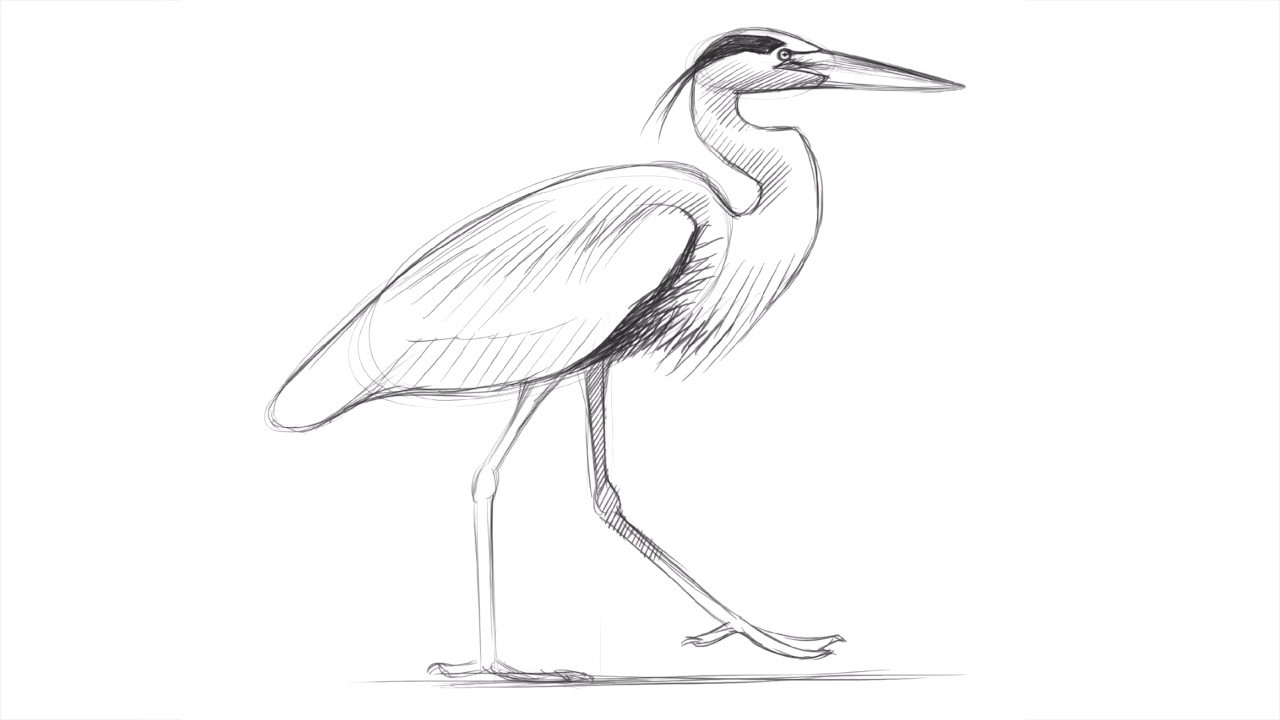 Drawing a Great Blue Heron with David Allen Sibley