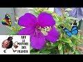 Download Lagu Conseils jardinage :Tibouchina Urvilleana: Comment faire une bouture: vivace méditerranéenne Mp3 Free