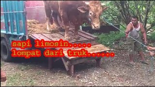 Video sapi limosin.......sapi limosin lompat dari truk.... MP3, 3GP, MP4, WEBM, AVI, FLV September 2018