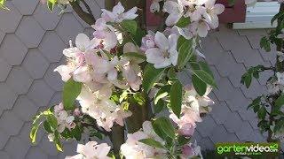 Ältere Apfelsäulenbäume Malini in voller Blüte