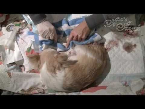 Bevalling van 5 Chihuahua's – Dotty giving birth – An's Angels