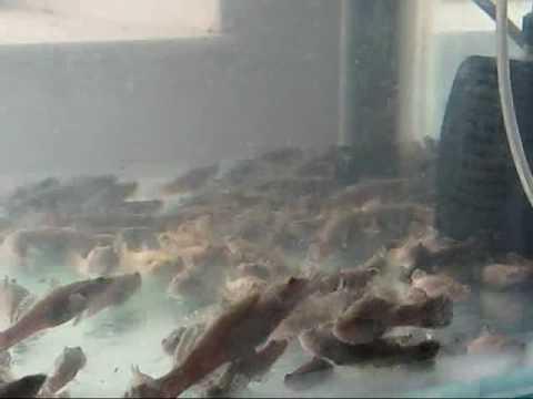 Pellet trained Marble Goby / Ikan Ketutu - www.aquacliq