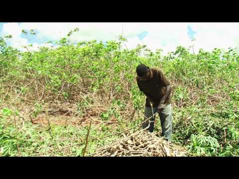 Cassava Planting Materials - Training Video