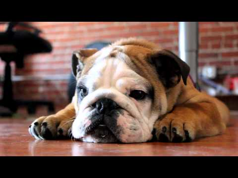 Boxerpuppies Youtube on Een Engelse Bulldog Van 3 Maanden Is Boos En Maakt Kwade Geluiden Hij