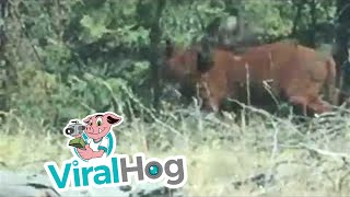 Video Rare Footage of a Grizzly Bear Attacking a Cow MP3, 3GP, MP4, WEBM, AVI, FLV Mei 2017