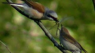 Video Red-backed shrike  / Tornskate   (Lanius collurio) MP3, 3GP, MP4, WEBM, AVI, FLV Agustus 2018
