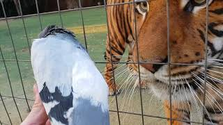 Tigers reaction to seeing a dove really close up