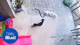 Psy uratowały jednoroczne dziecko przed jadowitą kobrą. Nagranie walki bohaterów trafiło do sieci.